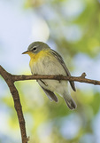 First-spring female Northern Parula (Setophaga americana) in mid-May on spring migration.