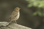 Swainson's Thrush (Catharus ustulatus) in mid-May on spring migration.