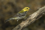 Adult female Black-throated Green Warbler (Setophaga virens) in mid-May on spring migration.