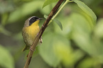 Adult male Common Yellowthroat (Geothlypis trichas) in mid-May on spring migration.