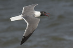 Adult Laughing Gull (Leucophaeus atricilla) calling in flight in late May.