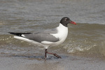 Adult Laughing Gull (Leucophaeus atricilla) in late May.