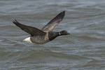 Adult Brant (Branta bernicla) in flight in late May.