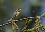Singing adult male Northern Parula (Setophaga americana) in flowering Honey Locust in late May on spring migration.
