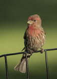 Adult male House Finch (Haemorhous mexicanus) in late May.