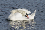 Adult Mute Swan (Cygnus olor) preening in early February.