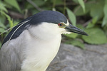Adult Black-crowned Night-Heron (Nycticorax nycticorax) in early June.