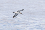 Cory's Shearwater (Calonectris diomedea) in early June.
