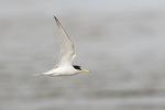 Adult Least Tern (Sternula antillarum) in flight in mid-June.