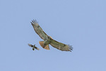 Adult Red-tailed Hawk (Buteo jamaicensis) pursued by Blue Jay (Cyanocitta cristata) in flight in late May.