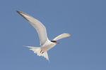 Common Tern (Sterna hirundo) in flight in mid-June.