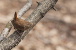 Winter Wren (Troglodytes hiemalis) in late March.