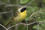 Male Common Yellowthroat (Geothlypis trichas) in mid-June.