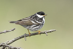 Adult male Blackpoll Warbler (Setophaga striata) in early July.