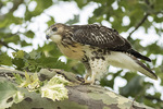 Juvenile Red-tailed Hawk (Buteo jamaicensis) perched in London Plane in early July.