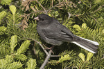 Adult male Dark-eyed Junco (Junco hyemalis) carrying food for young in early July.