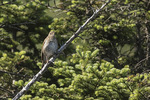 Bicknell's Thrush (Catharus bicknelli) in early July.