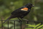 Adult male Red-winged Blackbird (Aegelaius phoeniceus) in mid-July.