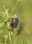 Le Conte's Sparrow (Ammodramus leconteii) in late July.