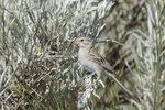 Brewer's Sparrow (Spizella breweri) perched in sagebrush in mid-July.