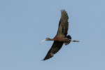 White-faced Ibis (Plegadis chihi) in flight in late July.