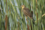 Female Yellow-headed Blackbird (Xanthocephalus xanthocephalus) perched on cattail in mid-July.