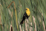 Adult male Yellow-headed Blackbird (Xanthocephalus xanthocephalus) perched on cattail in mid-July.