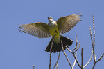 Male Western Kingbird (Tyrannus verticalis) displaying in mid-July.