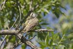 Western Kingbird (Tyrannus verticalis) preening in mid-July.