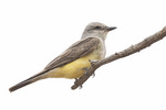Western Kingbird (Tyrannus verticalis) in mid-July.