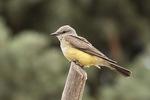 Western Kingbird (Tyrannus verticalis) in mid-July.