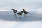 Small flock of American Crows (Corvus brachyrhynchos) foraging on frozen reservoir in early February.
