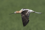 Adult female American Avocet (Recurvirostra americana) in flight in late July.