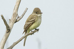 Willow Flycatcher (Empidonax traillii) in mid-July.