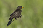 Adult female Brewer's Blackbird (Euphagus cyanocephalus) carrying food for young in mid-July.