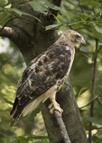 Second-year Red-tailed Hawk (Buteo jamaicensis) motlting into adult plumage in early August. Tail feathers are mixed red (adult) and banded (juvenile).
