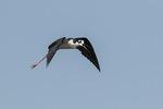 Adult Black-necked Stilt (Himantopus mexicanus) in flight in late July.