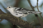 Male Black-and-white Warbler (Mniotilta varia) in mid-August on fall migration.