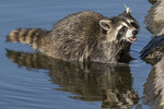 Raccoon (Procyon lotor) foraging in mid-August.