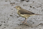Northern Waterthrush (Parkesia noveboracensis) foraging on a mud flat in late August on fall migration.