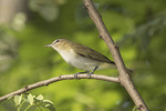 Red-eyed Vireo (Vireo olivaceus) in late August.