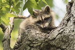 Young Raccoon (Procyon lotor) in late August.