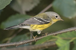 Adult female Magnolia Warbler (Setophaga magnolia) in late August on fall migration.