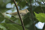 Ovenbird (Seiurus aurocapilla) in late August on fall migration.