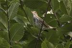 Ovenbird (Seiurus aurocapilla) calling in late August on fall migration.
