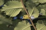 Adult Yellow-throated Vireo (Vireo flavifrons) hiding behind leaves in late August on fall migration.