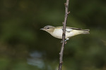 Immature Red-eyed Vireo (Vireo olivaceus) in early September.