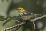 Adult female Black-throated Green Warbler (Setophaga virens) in mid-September on fall migration.