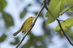 First-fall female Wilson's Warbler (Cardellina pusilla) in mid-September on fall migration. Shakespeare Garden, Central Park. New York, NY.