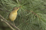 Female Common Yellowthroat (Geothlypis trichas) in mid-September on fall migration.